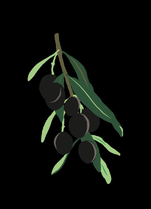 illustration d'olivier - publication pédagogique provence