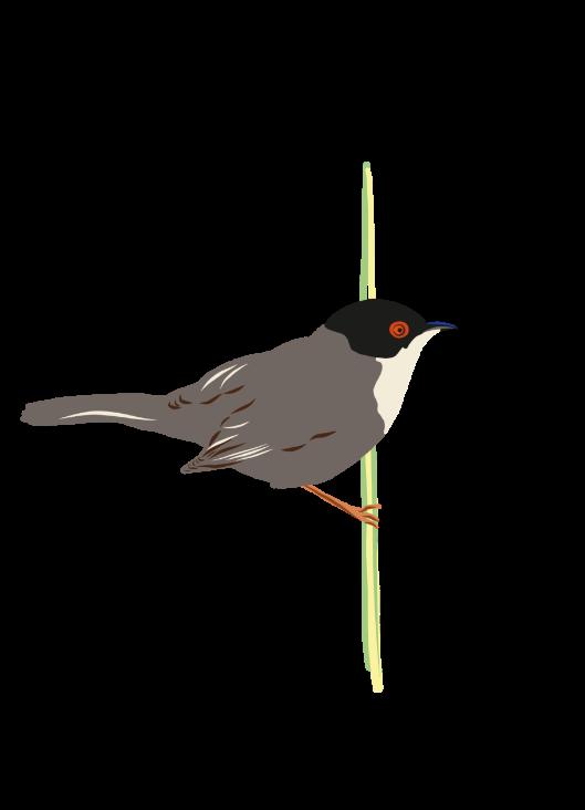 illustration oiseau provençal pour une publication du pnr des baronnies provençales