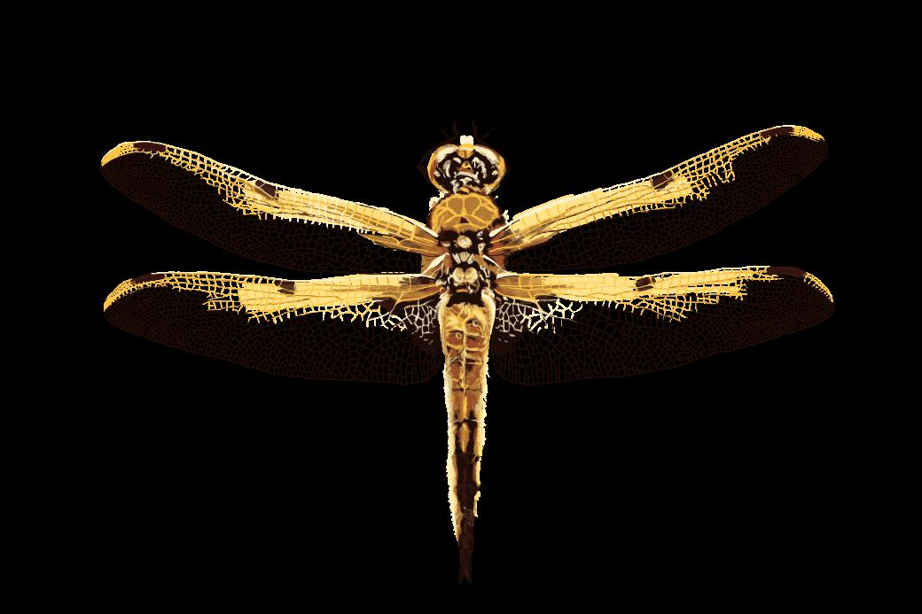 illustration de libellule pour le parc naturel du haut jura