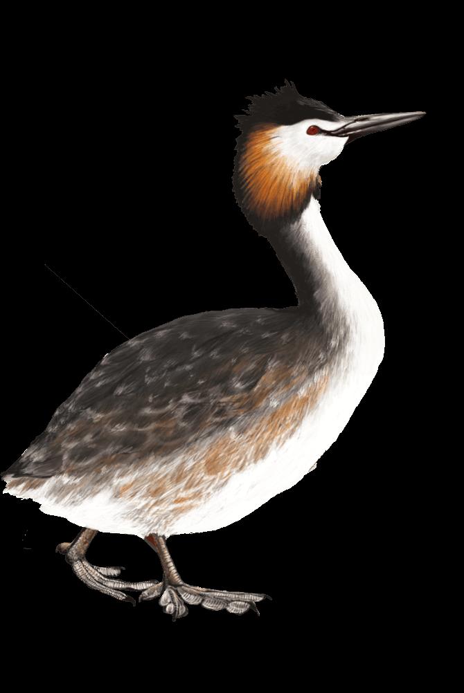 illustration d'oiseau pour le pnr du haut-jura