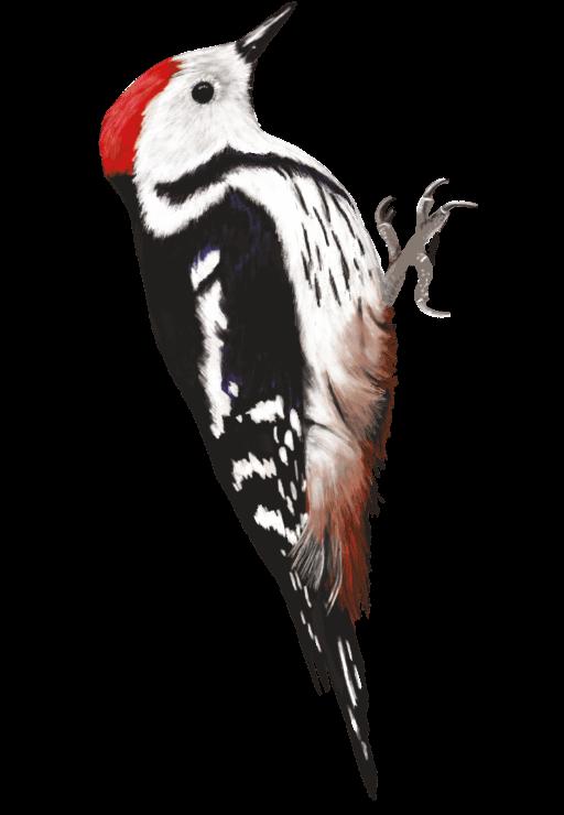 illustration naturaliste pour le marais de l'étournel - pnr haut-jura