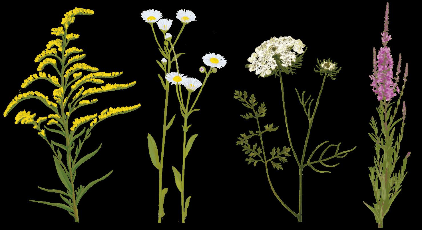plantes illustrées pour le sentier découverte du pnr haut-jura les marais de l'étournel