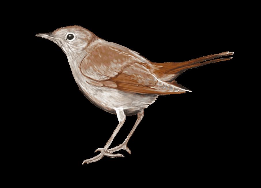 illustration d'oiseau pour le pnr haut-jura